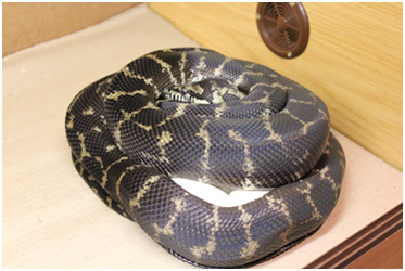 Irian Jaya Carpet python incubating eggs