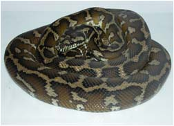 Light coloured female Irian Jaya Carpet Python