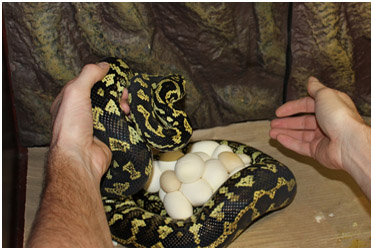 Jungle Carpet Python eggs