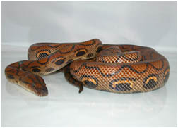 Sub-Adult Male Brazilian Rainbow Boa