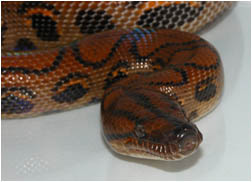 Beautiful Rainbow Boa